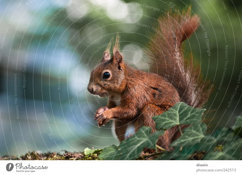 Nature Tree Animal Sit Pelt Wild animal Cute Paw Crouch Claw Ivy Squirrel