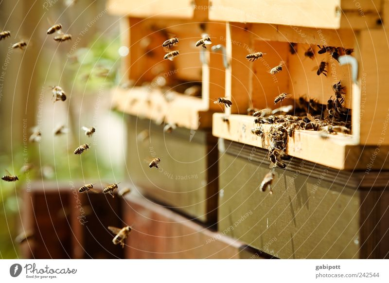 Without diligence no price Environment Nature Summer Beautiful weather Animal Farm animal Bee Beehive Apiary Group of animals Flock Work and employment Flying