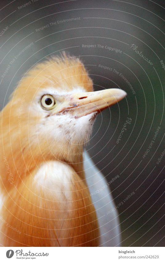Eyes Animal Bird Gold Feather Animal face Beak