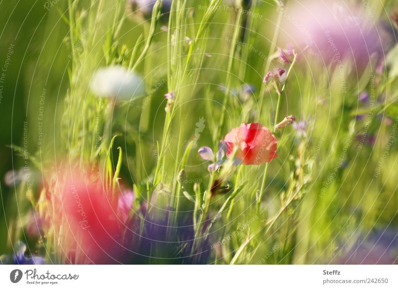 Summer meadow with flowering wild plants Flower meadow Poppy differently Summerflower meadow flowers Meadow flower wild flowers poppy blossoms natural light