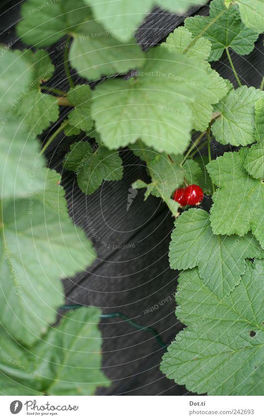 ribisel Fruit Plant Bushes Leaf Agricultural crop Garden Green Red Survive Growth Mature Redcurrant 2 covert reap Colour photo Exterior shot Close-up