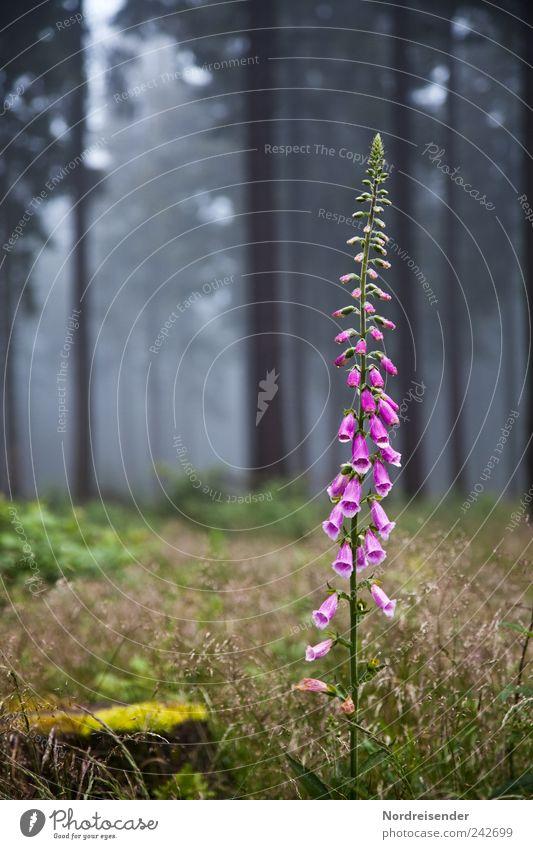 thimble Nature Plant Summer Fog Flower Wild plant Forest Esthetic Exotic Elegant Foxglove Poisonous plant Medicinal plant Grass Clearing Blossoming Violet