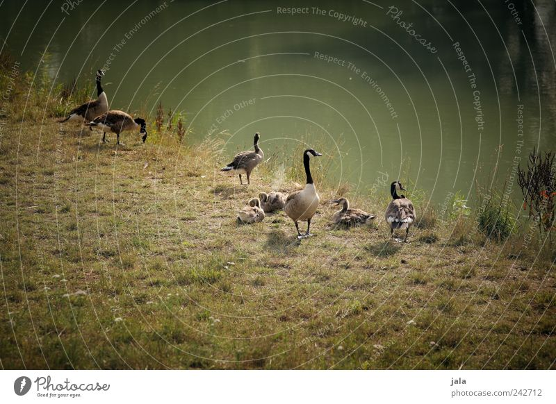 extended family Nature Summer Grass Foliage plant Wild plant Meadow River Animal Wild animal Goose Canadian goose Group of animals Together Natural Brown Green