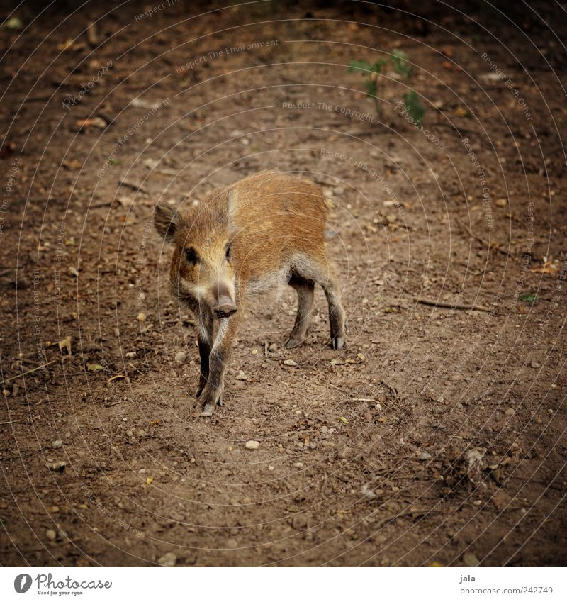 little sow Nature Animal Wild animal Wild boar 1 Baby animal Looking Free Beautiful Brown Young boar Colour photo Exterior shot Deserted Copy Space left