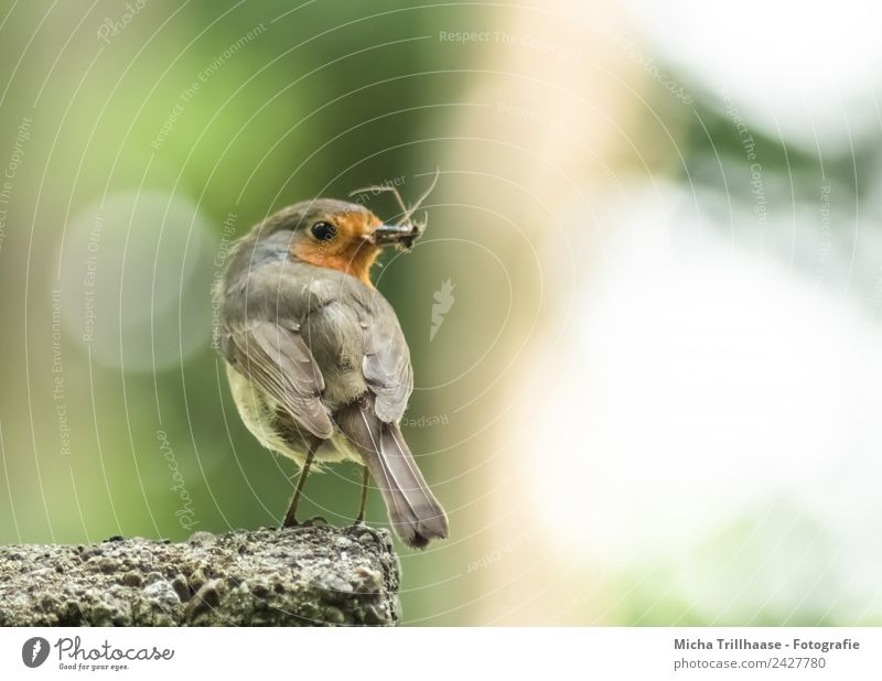 Robin with insects in the beak Environment Nature Animal Sun Sunlight Beautiful weather Wild animal Bird Animal face Wing Claw Robin redbreast Beak Eyes Insect
