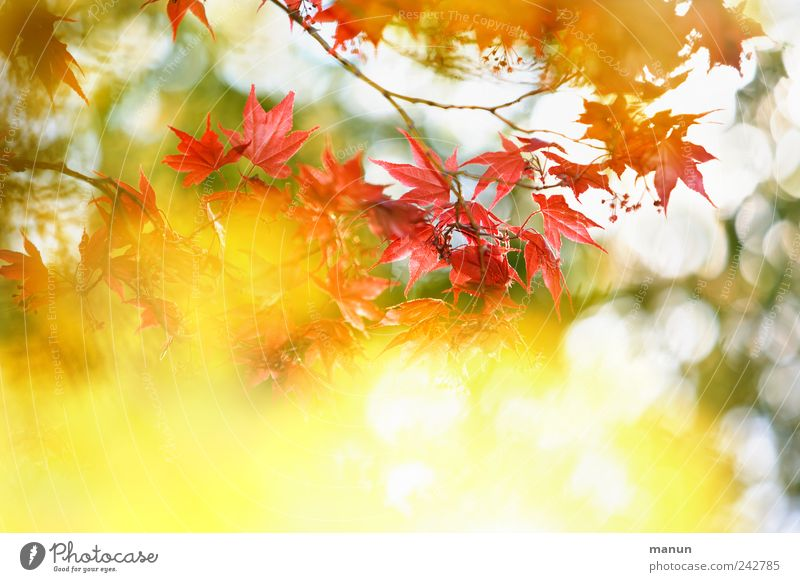 Nature Beautiful Flower Red Leaf Yellow Autumn Spring Glittering Authentic Branch Fantastic Natural Illuminate Maple tree Maple leaf