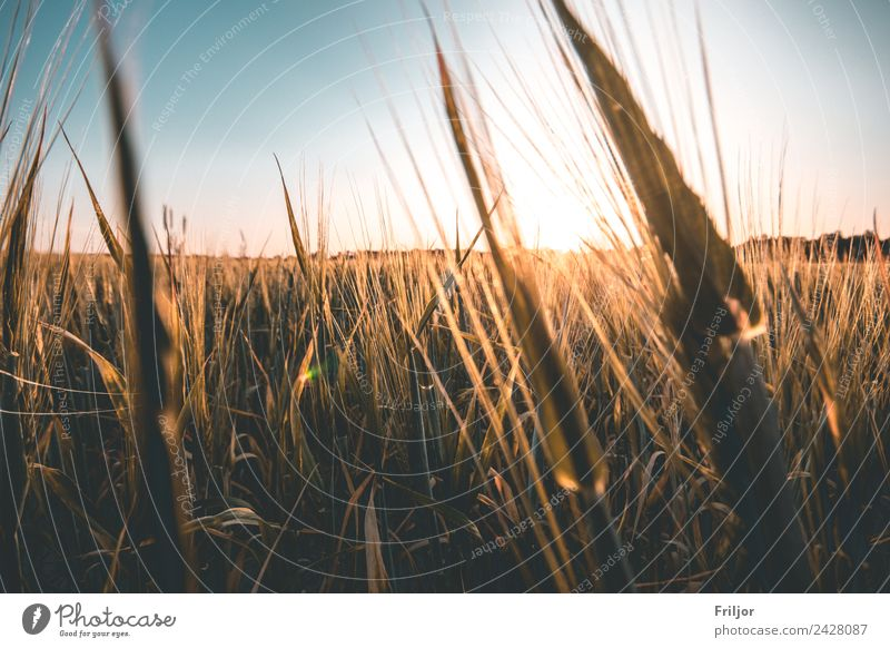 Village life. Environment Nature Landscape Plant Cloudless sky Horizon Sunrise Sunset Summer Beautiful weather Agricultural crop Field Illuminate Esthetic