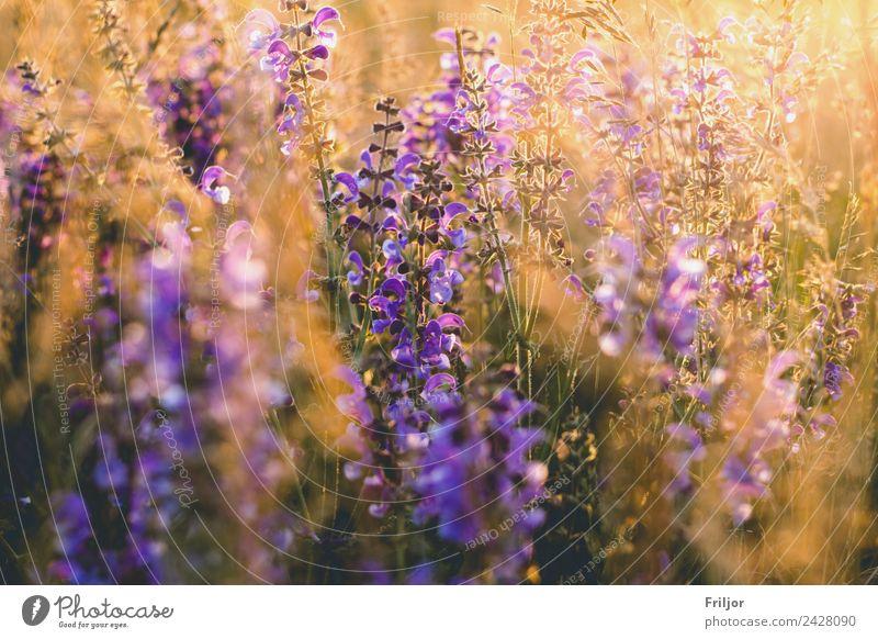 bee pasture Nature Landscape Plant Sunrise Sunset Sunlight Summer Beautiful weather Flower Blossom Foliage plant Meadow Field Esthetic Yellow Gold Violet Orange