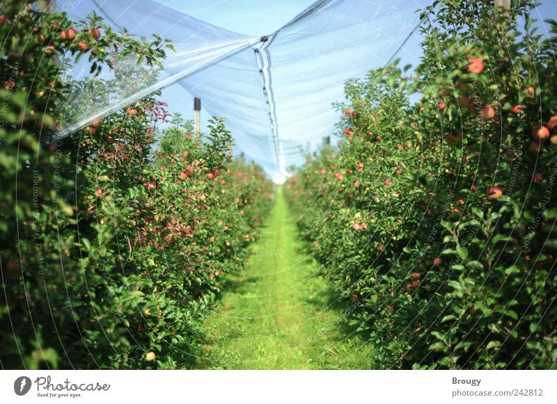 Apple field / apple plantation Contentment Relaxation Calm Vacation & Travel Trip Far-off places Freedom Summer Summer vacation Garden Gardening Farmer Gardener