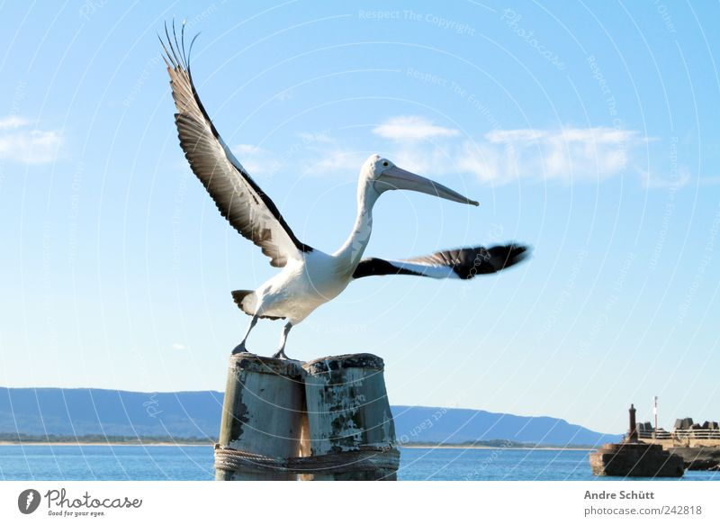 Freedom Environment Water Sky Beautiful weather Fjord woolongong New South Wales Australia Harbour Animal Wild animal Pelican 1 Flying Blue Wing Bird Departure
