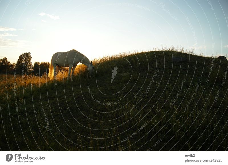 Dinner for one horse Environment Nature Landscape Plant Animal Cloudless sky Horizon Climate Beautiful weather Tree Grass Bushes Meadow Hill Schonen Horse 1