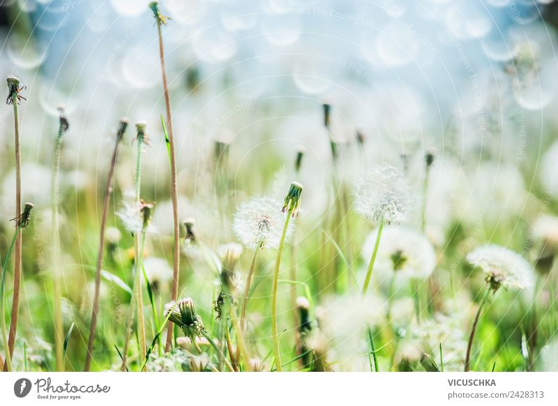 Dandelion, sky and bokeh Design Summer Garden Nature Plant Spring Flower Grass Meadow Field Yellow Background picture Sky Blur Macro (Extreme close-up)