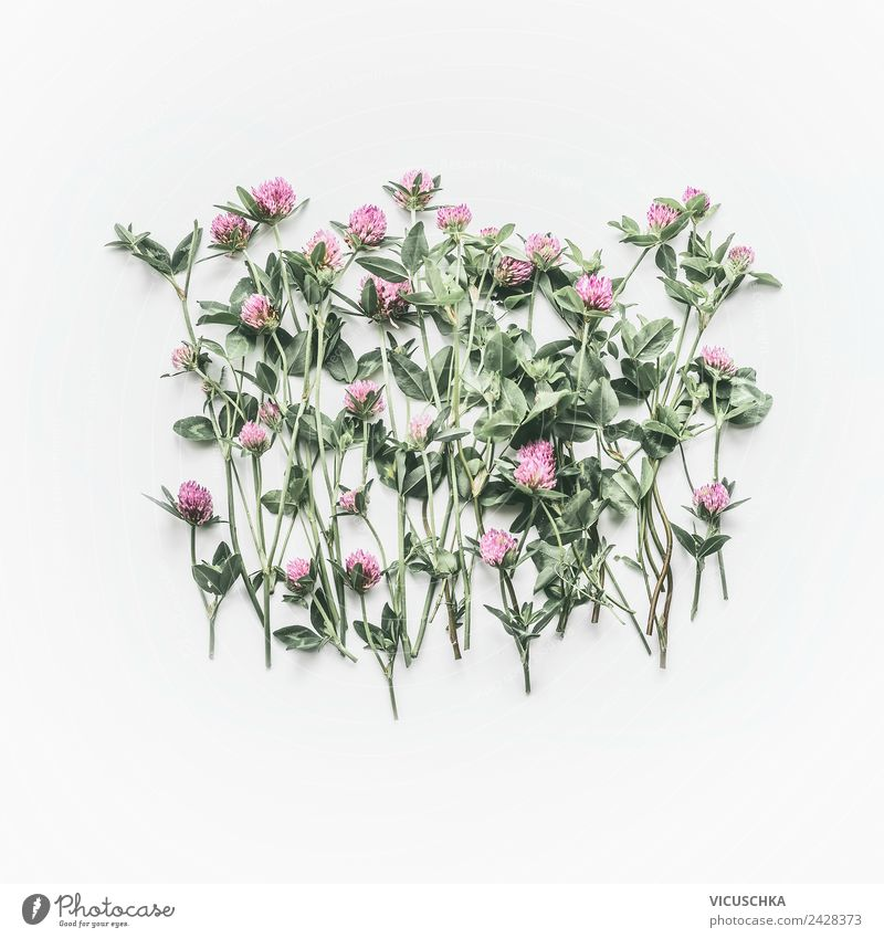 Flowering red clover on white background Style Design Summer Nature Plant Wild plant Decoration Bouquet Pink Background picture Red clover Bright background