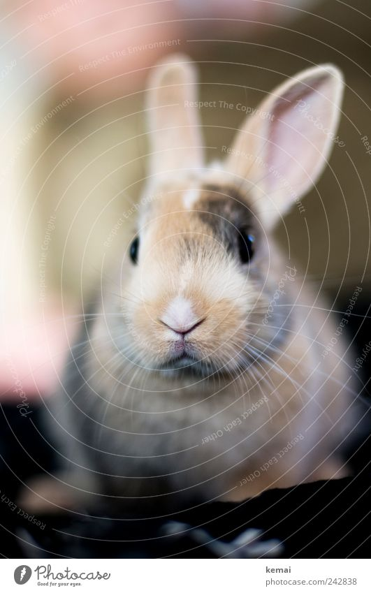 Animal Baby animal Eyes Fear Sit Cute Soft Nose Ear Pelt Watchfulness Animal face Pet Hare & Rabbit & Bunny Cuddly Nerviness