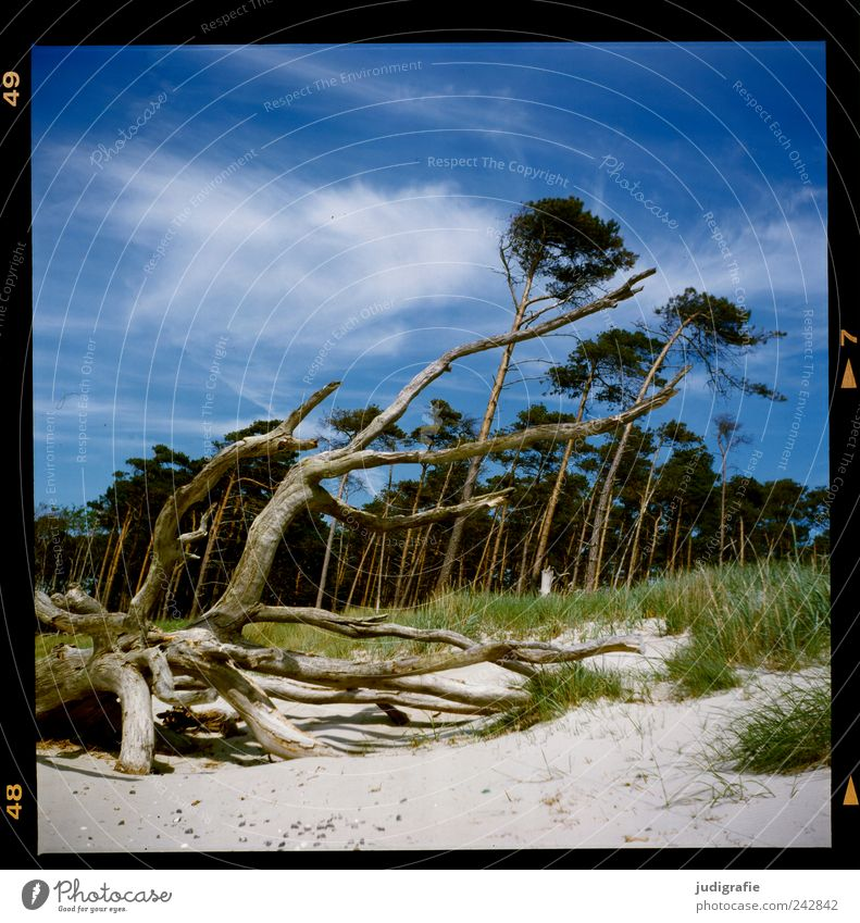 western beach Environment Nature Landscape Climate Wind Gale Plant Tree Forest Coast Beach Baltic Sea Ocean Darss Western Beach To dry up Growth Natural Wild