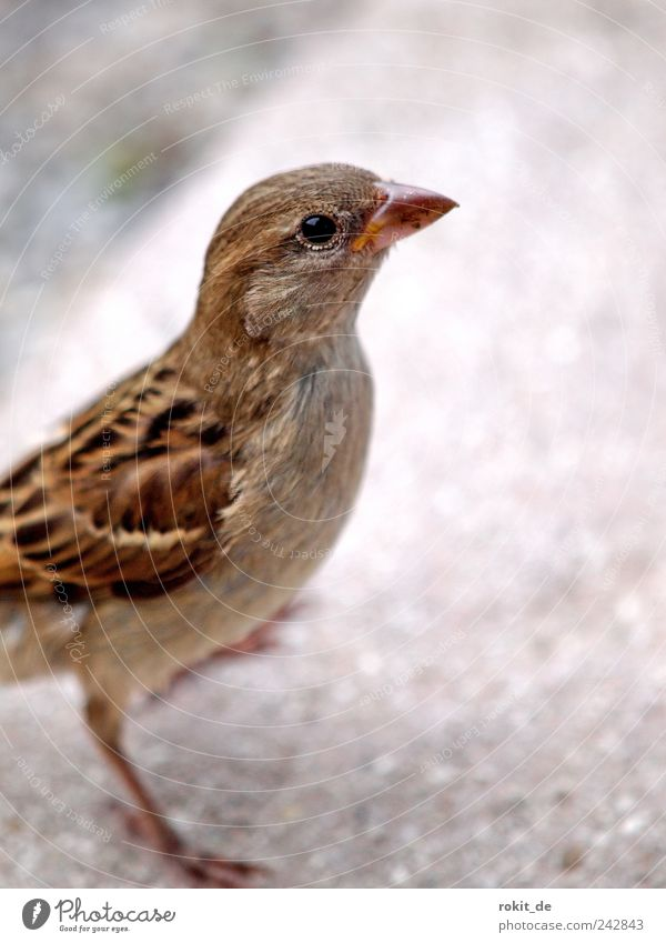 Cheeky Piepmatz Animal Bird Sparrow 1 Discover To fall Flying Looking Curiosity Under Brown Bravery Willpower Determination Love of animals Appetite Thirst