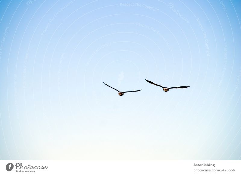 Sky Nature Summer Blue White Animal Black Bird Flying Pair of animals Weather Air Wild animal Beautiful weather Large Wing