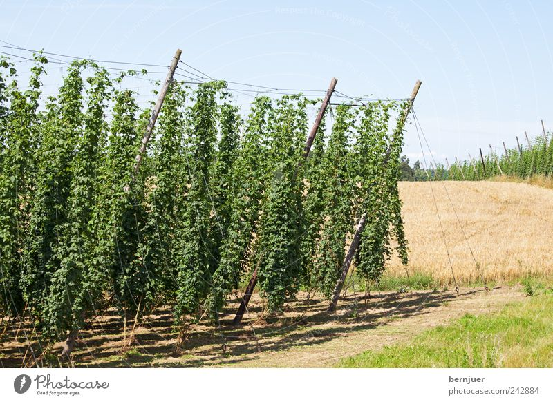 beer ingredients Nature Landscape Plant Earth Sky Cloudless sky Sunlight Beautiful weather Field Hill Life Hop hallertau holledau hop garden Wheat Wheatfield