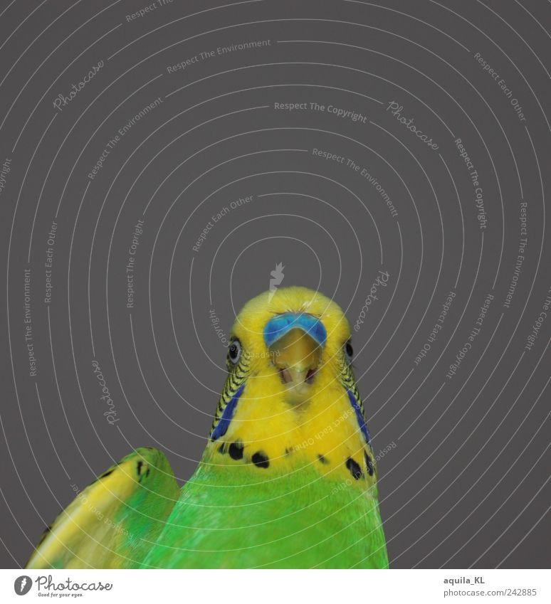 Green Animal Yellow Gray Bird Funny Free Feather Wing Cute Pet Beak Parrots Budgerigar Caged bird