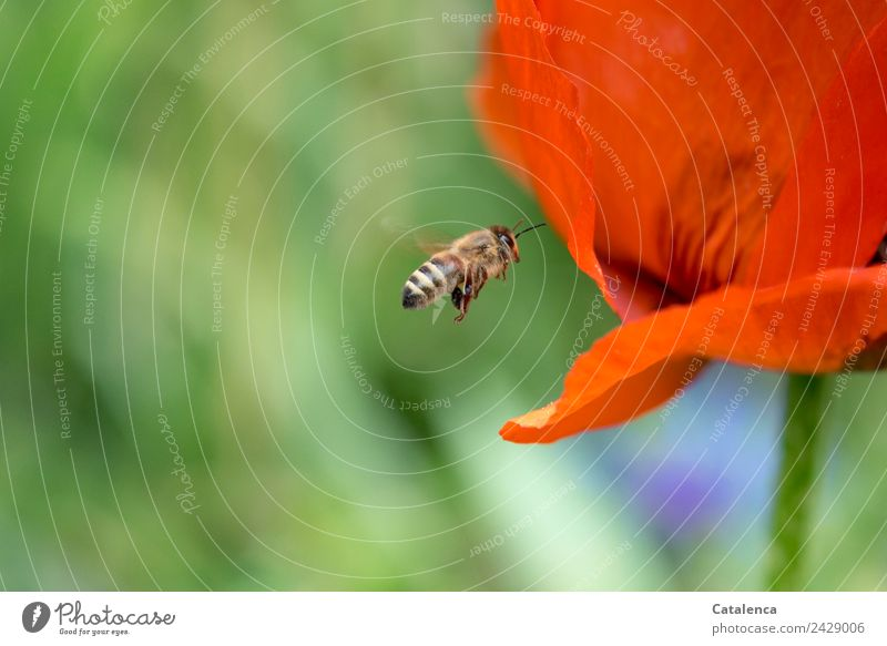 bee flight Plant Animal Spring Flower Blossom Poppy blossom Garden Bee Honey bee Insect Blossoming Flying Faded Success Blue Brown Green Orange Life Mobility