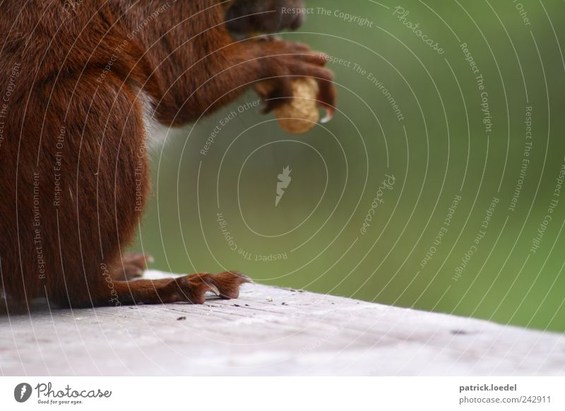Nature Green Animal Environment Brown Wild animal Cute Pelt Paw To feed Feed Claw Squirrel Nut Fruit