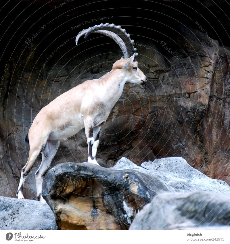 King of the mountains Wild animal Capricorn Antlers 1 Animal Brown Mountain Majestic Colour photo Subdued colour Exterior shot