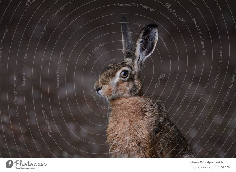 master lamp Environment Nature Spring Summer Field Forest Animal Wild animal Animal face Pelt Hare & Rabbit & Bunny 1 Observe Listening Looking Sit Brown Gray