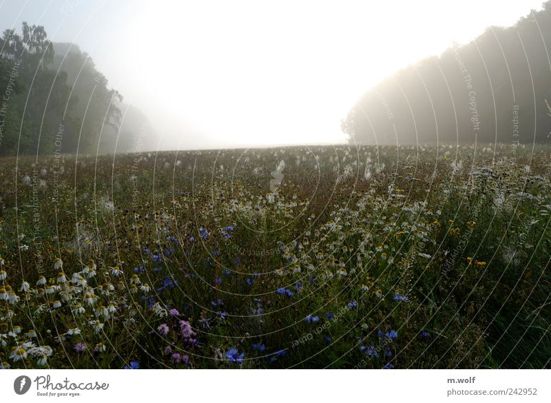 Summer morning Nature Landscape Plant Sunlight Weather Fog Flower Blossom Agricultural crop Wild plant Cornflower Chamomile Field Forest Yellow Green White