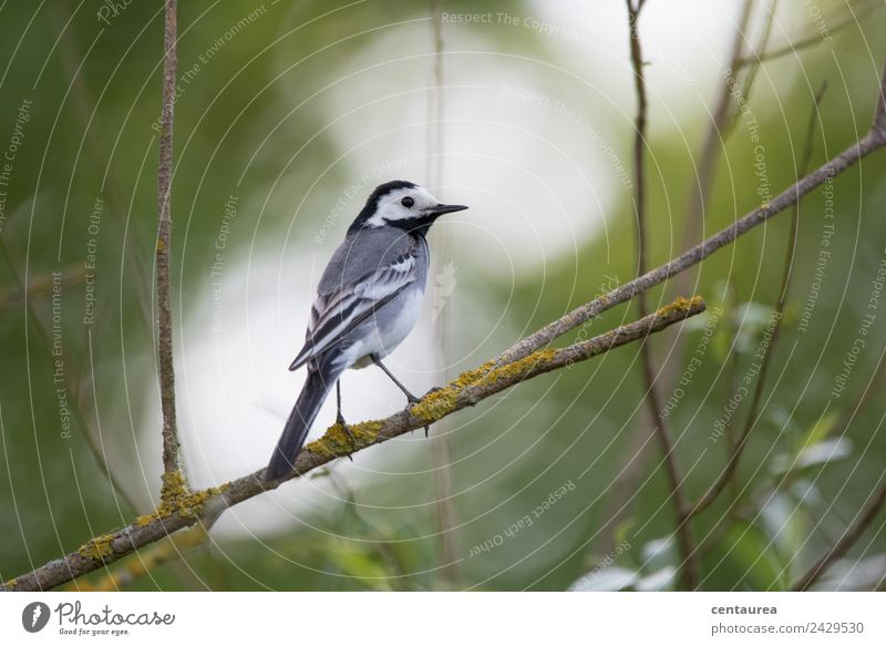 Bird on a branch 3 Nature Animal Spring Tree Bushes Garden Park Wild animal Wing Claw 1 Stand Love of animals Wagtail Colour photo Exterior shot Copy Space top