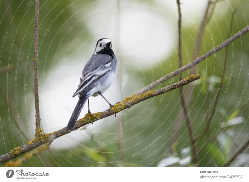 Bird on a branch 2 Nature Animal Spring Tree Bushes Garden Park Wild animal Wing Claw 1 Stand Elegant Gray Green Black White Contentment Wagtail Colour photo