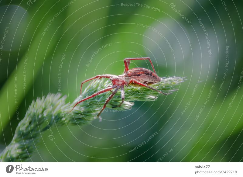 On the lookout Nature Plant Animal Spring Summer Grass Leaf Blossom scarlet grass Meadow Wild animal Spider Wolf spider 1 Hunting Threat Astute Green Planning