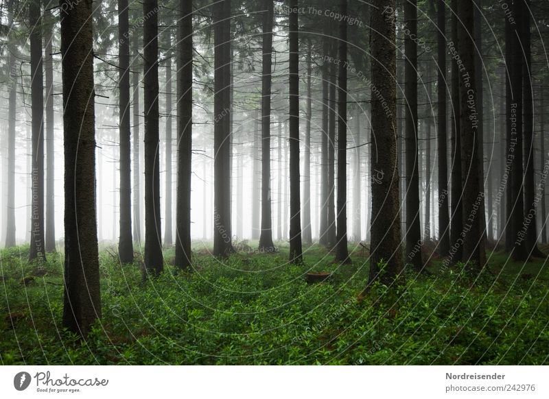 forest Nature Landscape Plant Air Summer Autumn Climate Weather Bad weather Fog Tree Forest Observe Threat Dark Creepy Fear Loneliness Moody Coniferous forest