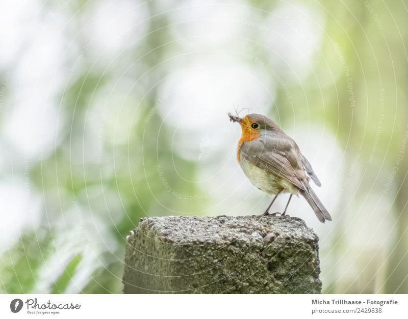 Robin with trapped insect Nature Animal Sun Sunlight Beautiful weather Tree Wild animal Bird Animal face Wing Claw Robin redbreast Beak Eyes Insect Feather 1