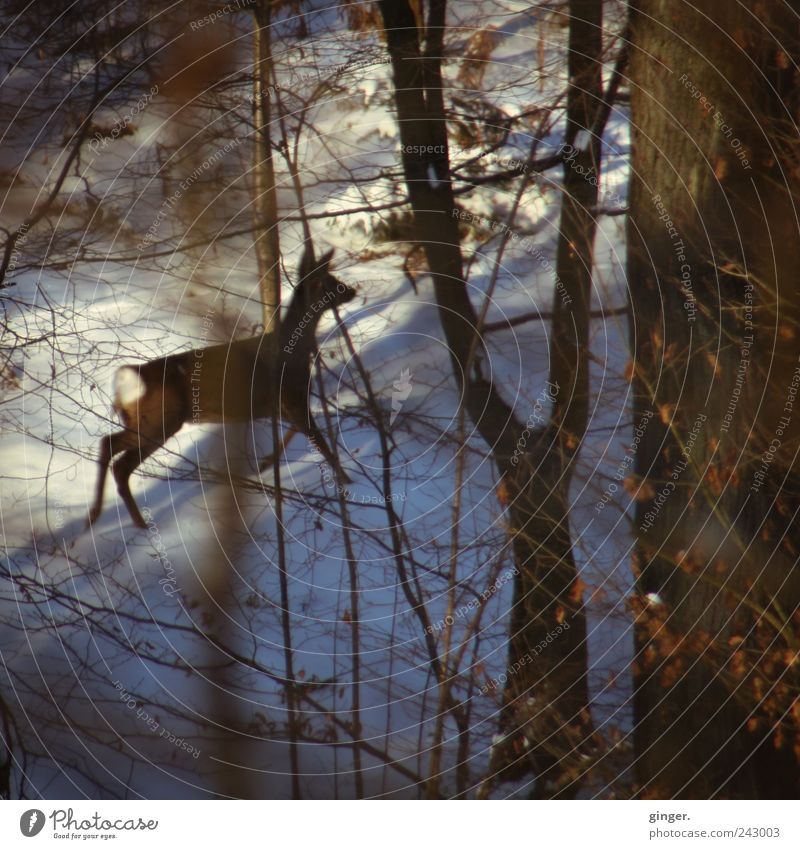 run. Snow Forest Animal Wild animal Roe deer 1 Baby animal Threat Walking Escape Protection Undergrowth Concealed Speed Going Twigs and branches White Brown