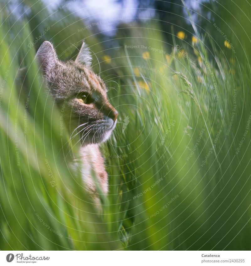 meadow cat Nature Plant Animal Summer Flower Grass Marsh marigold Meadow Pet Cat 1 Observe Sit Beautiful Blue Brown Yellow Green Contentment Watchfulness Serene