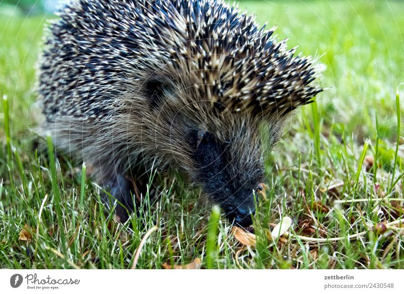 Little Western Hedgehog Garden Grass Garden plot Garden allotments Deserted Nature Lawn Summer Thorny Spine Copy Space Animal Meadow Face Animal portrait