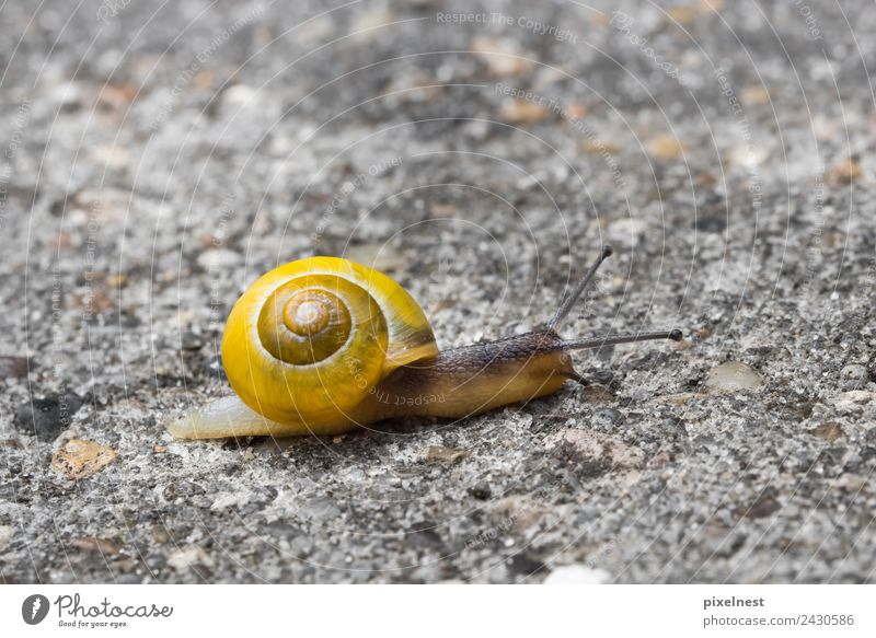 garden snail conveyor Animal Street Snail 1 Slimy Yellow Contentment Love of animals Power Calm Moving (to change residence) Garden snail helicidae pulmonata
