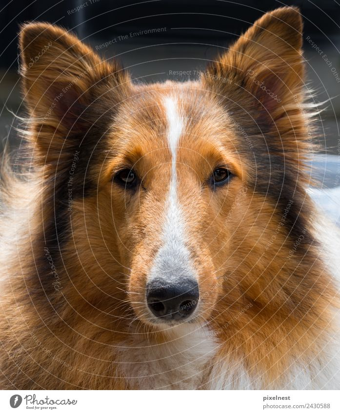 collie Animal Pet Dog Pelt 1 Observe Friendliness Cute Beautiful Brown Black White Friendship Love of animals Collie sable Dog's head Shepherd dog Lassie
