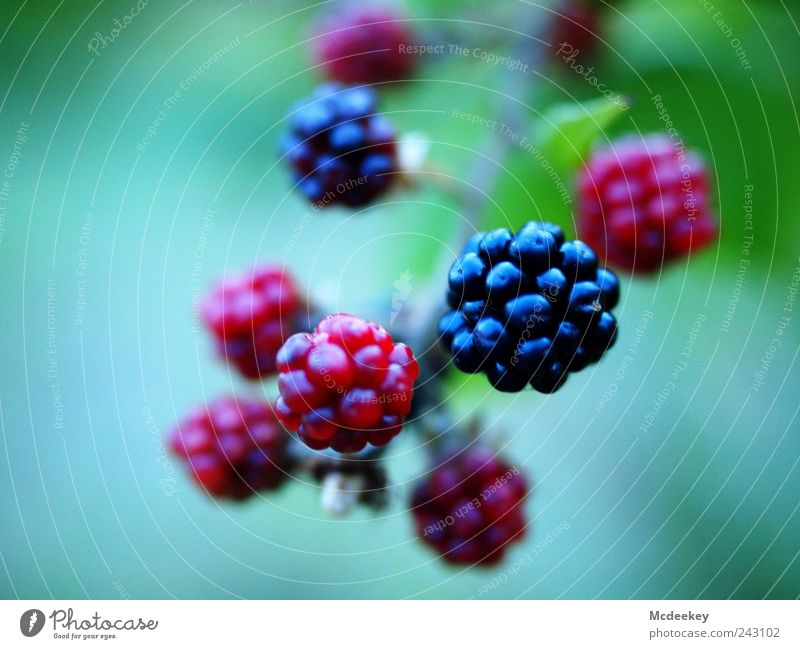 black bear Nature Plant Summer Bushes Wild plant Meadow Field Exotic Fresh Delicious Natural Blue Gray Green Violet Pink Red Black White Fruit Blackberry