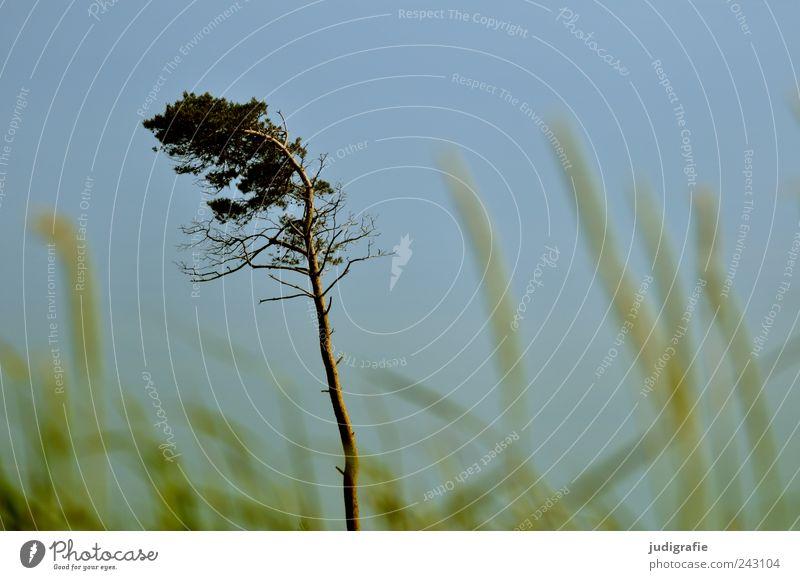 Nature Sky Tree Plant Grass Landscape Coast Environment Growth Wild Natural Darss Cloudless sky Western Beach Wind cripple