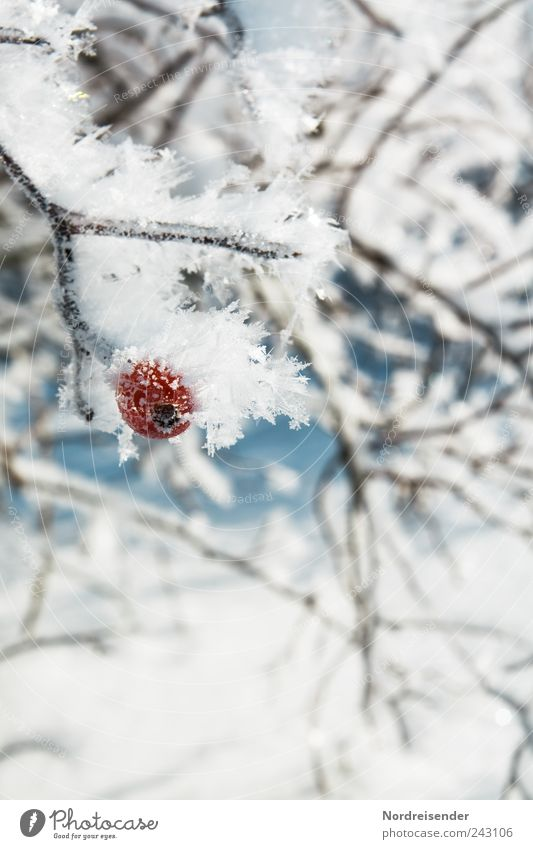 chill Fruit Life Winter Nature Plant Climate Weather Ice Frost Snow Bushes Wild plant Crystal Freeze Esthetic Cold Survive Harvest Rose hip Berries Ice crystal