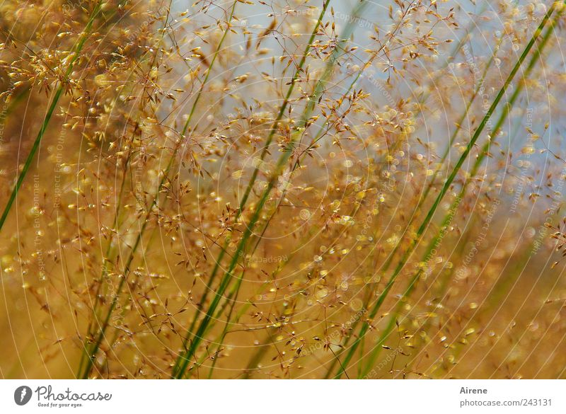 summer grasses Summer Environment Nature Plant Sky Beautiful weather Grass Blade of grass Meadow Movement Faded Growth Natural Blue Gold Green Calm faint