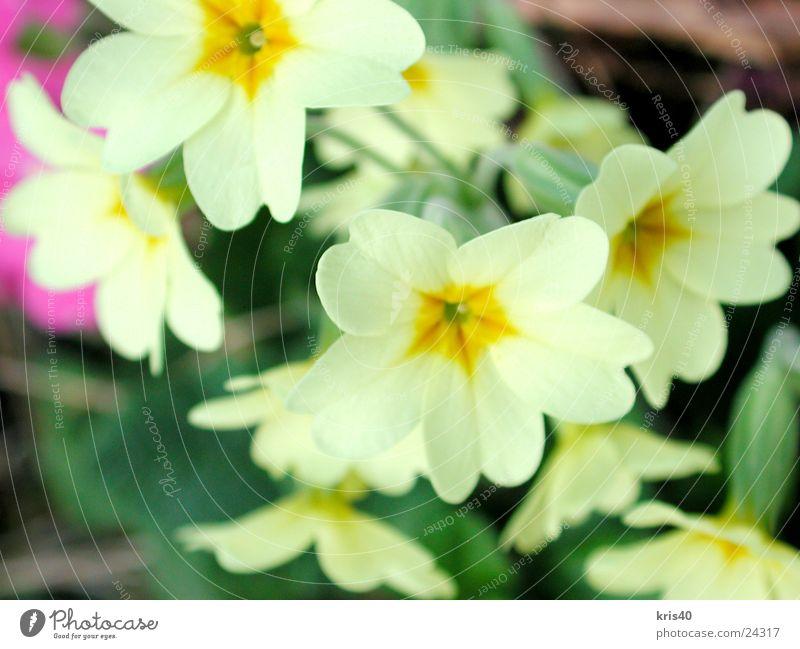 cowslip Flower Spring Blossom Nature Garden