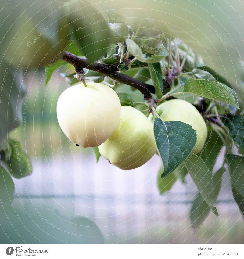 from the garden Food Fruit Fruit garden Garden fruit Organic produce Vegetarian diet Environment Plant Summer Tree Leaf Agricultural crop Branch Apple tree
