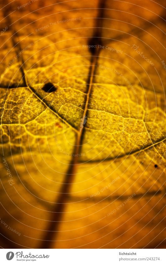 Nature Old Plant Leaf Autumn Line Brown Gold Transience Rust Vessel Rachis Autumn leaves Limp
