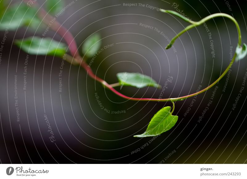 A little Fibonacci. Environment Nature Plant Summer Leaf Foliage plant Tendril Green Spiral golden spiral Bend Curved Rotate Growth Shoot Colour photo