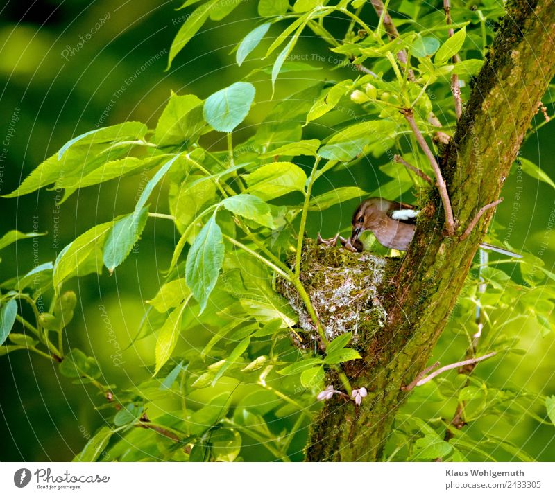 Bookfinch brings water to his boy Environment Nature Spring Summer Plant Tree Elder Park Forest Animal Wild animal Bird Chaffinch Baby animal Feeding Drinking