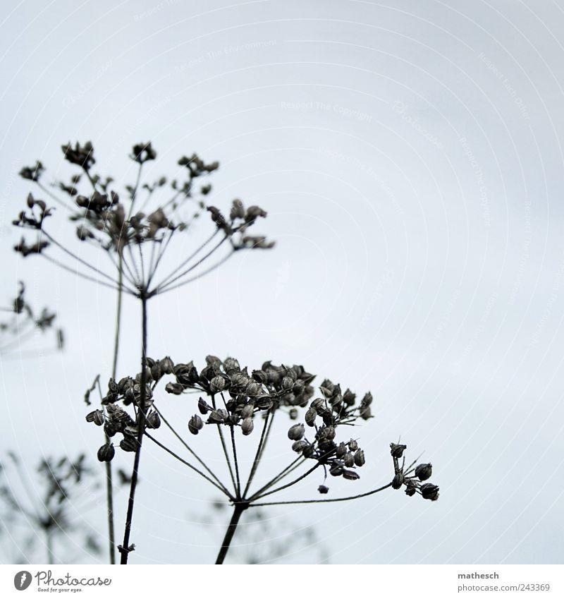 Nature Sky Blue Plant Black Autumn Bushes Dry Seed Wild plant Apiaceae