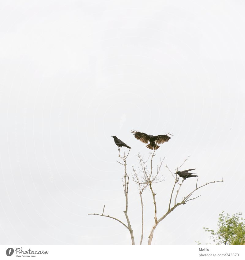 landing site Environment Nature Plant Tree Branch Twig Animal Bird Crow 3 Flying Sit Free Bright Natural Together Movement Freedom Wing Disperse Landing