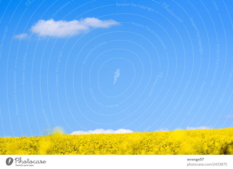 A flowering field of rapeseed under a blue sky Environment Landscape Plant Sky Clouds Spring Beautiful weather Agricultural crop Canola Canola field Field